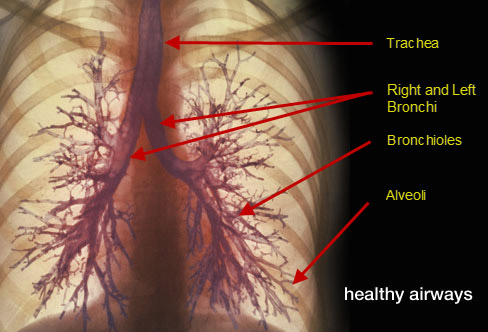 copd-healthy-airways